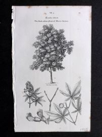 John Loudon 1838 Antique Botanical Tree Print. Flesh-Colour Flowered Horse Chestnut